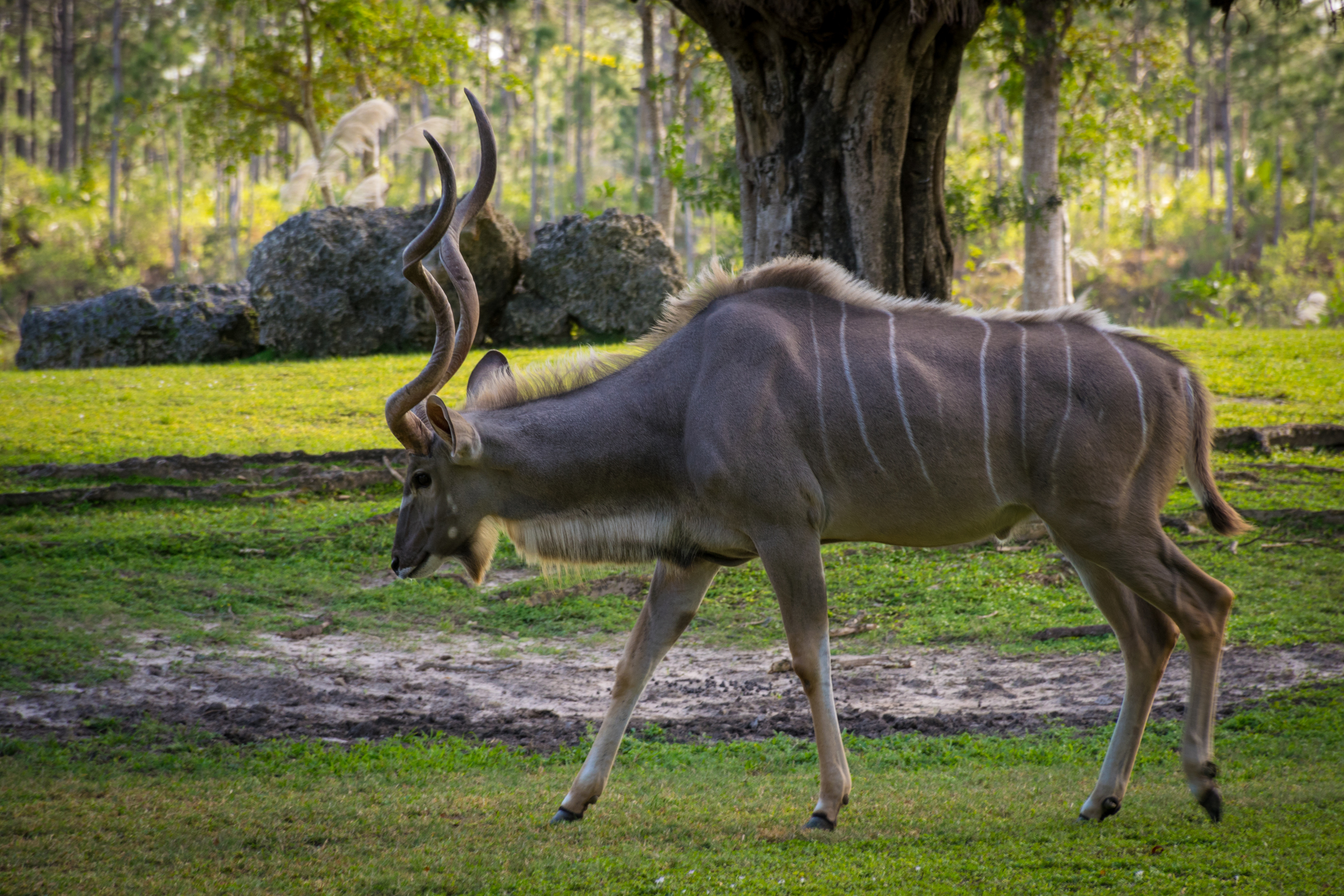A  Greater Kudu , out for a stroll