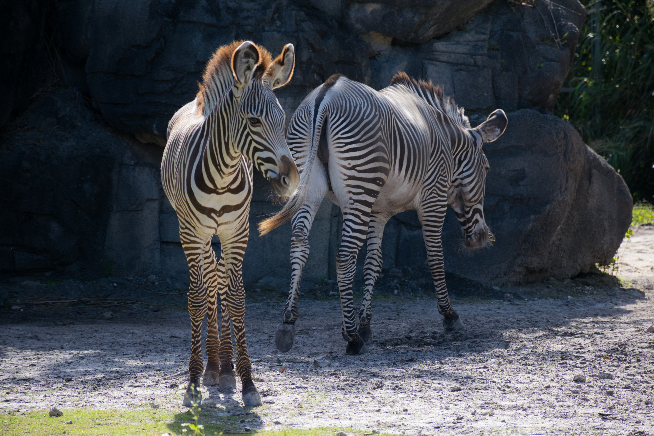 A pair of  Grevy's zebras