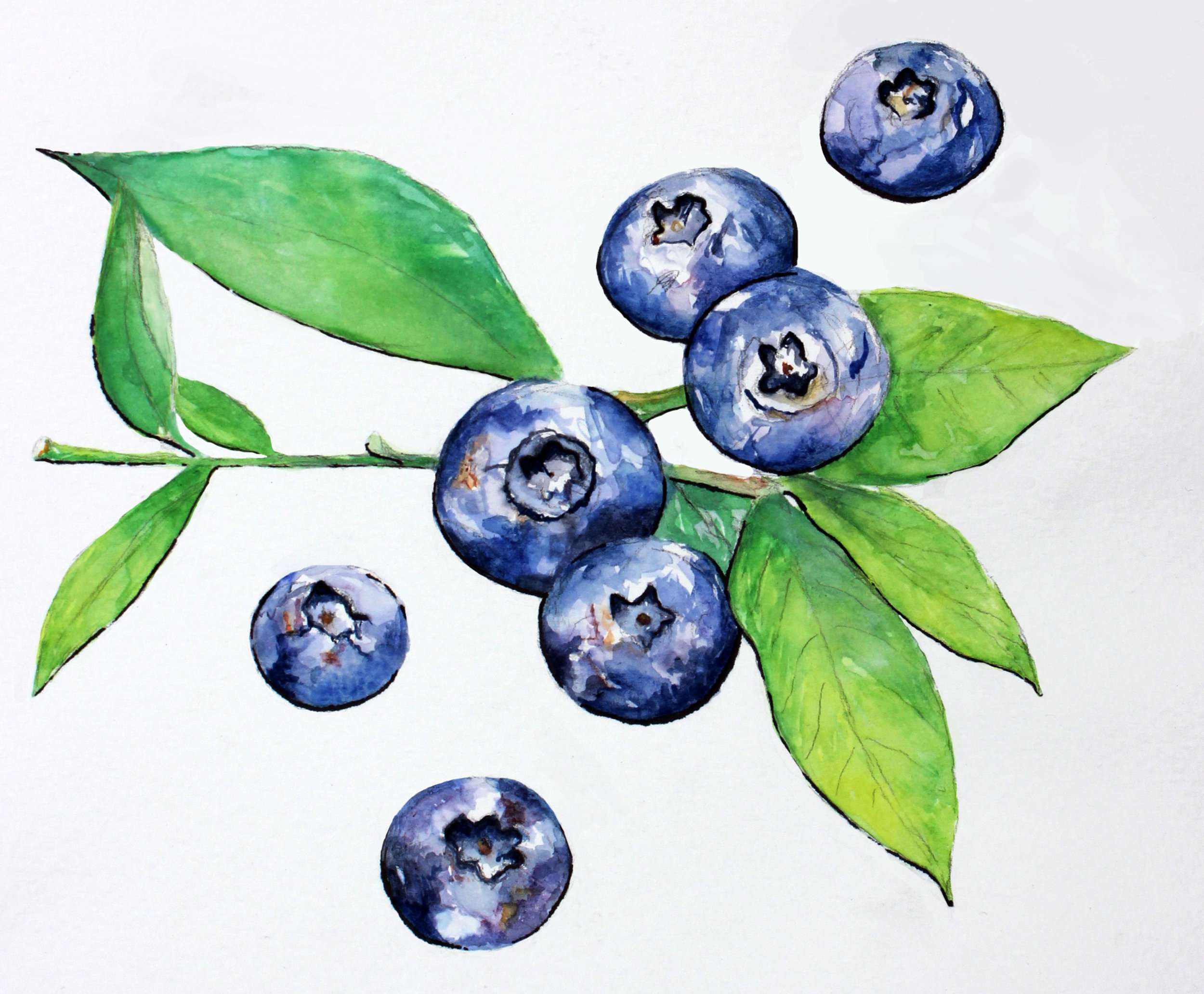 Watercolor botanical blueberry painting by Ashley Cassandra Chase