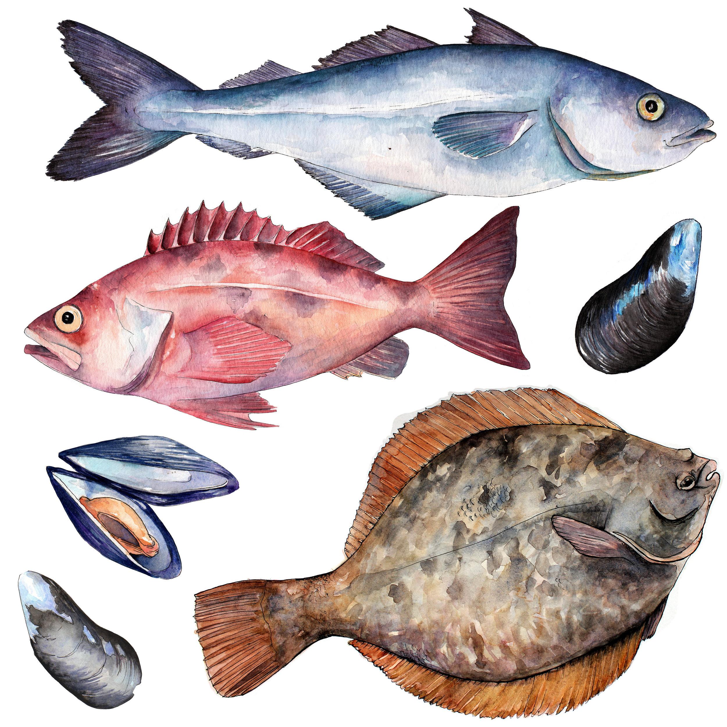 AshleyChase watercolor snapper bluefish flounder.jpg