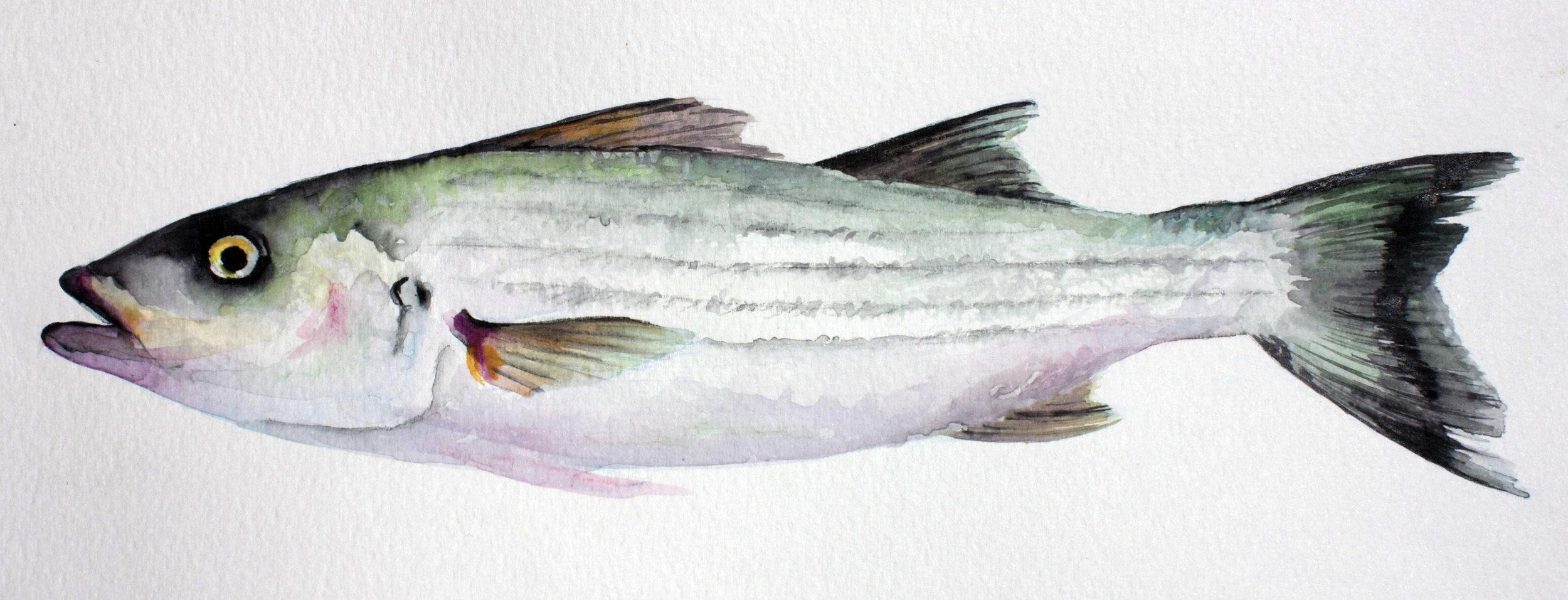 Watercolor Striped Bass