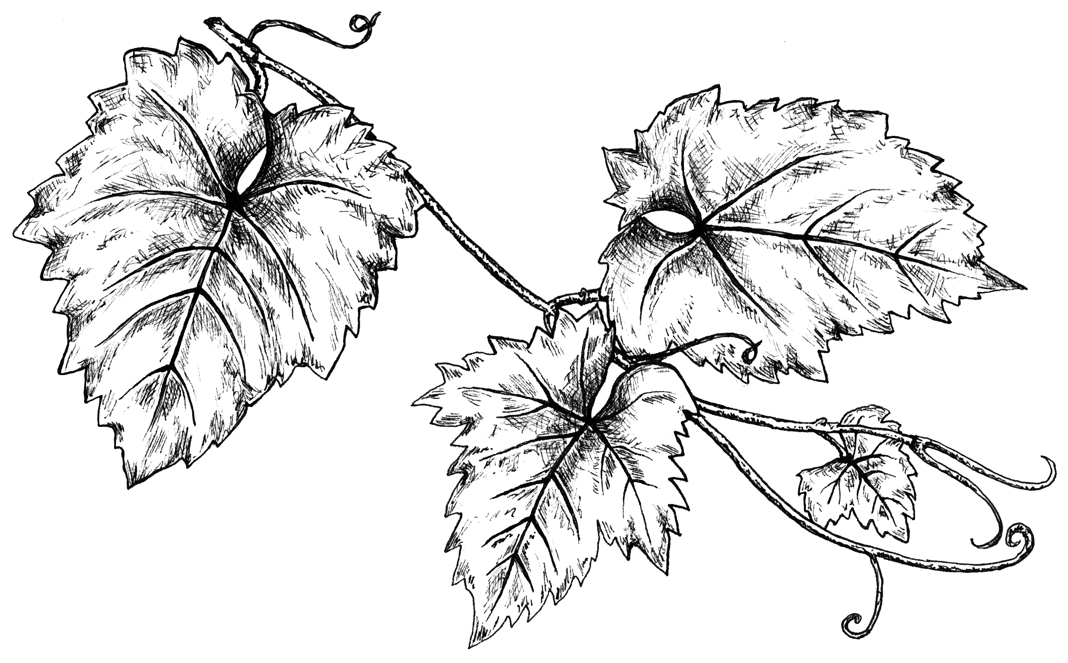 GRAPELEAVES LINEDRAWING.png