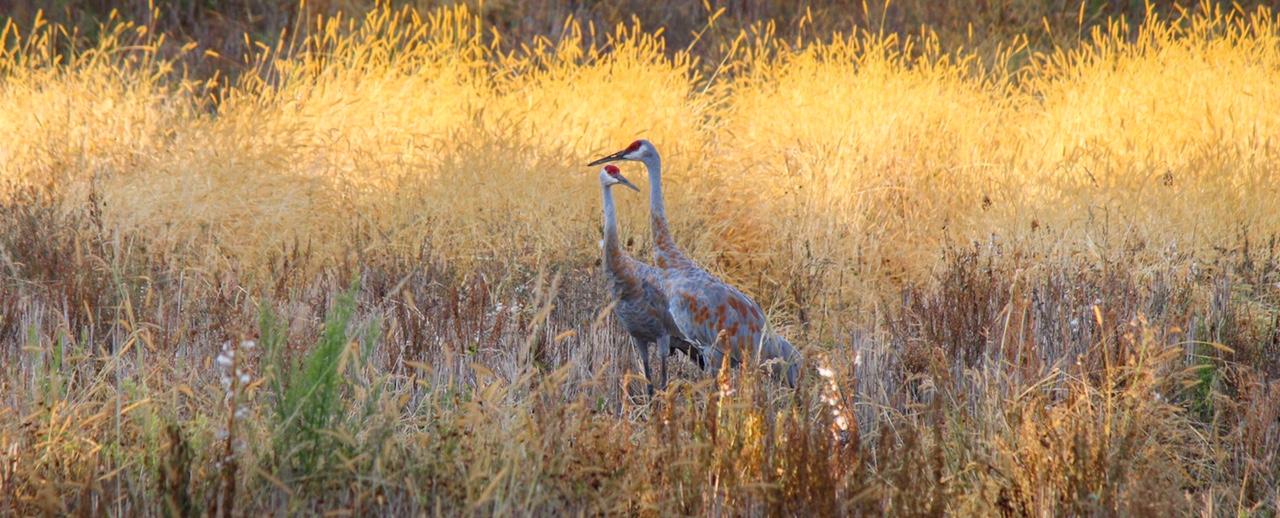 Cranes in Illuminated Grass