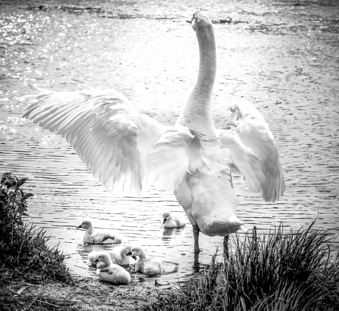 Swan Benediction