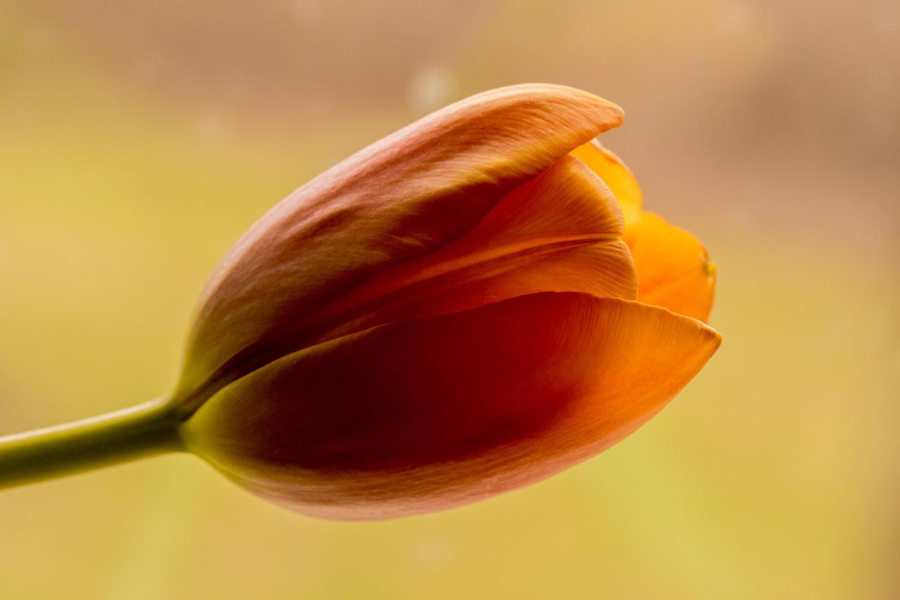 Blood Orange Tulip