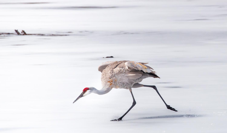 Cranes on Ice No.1