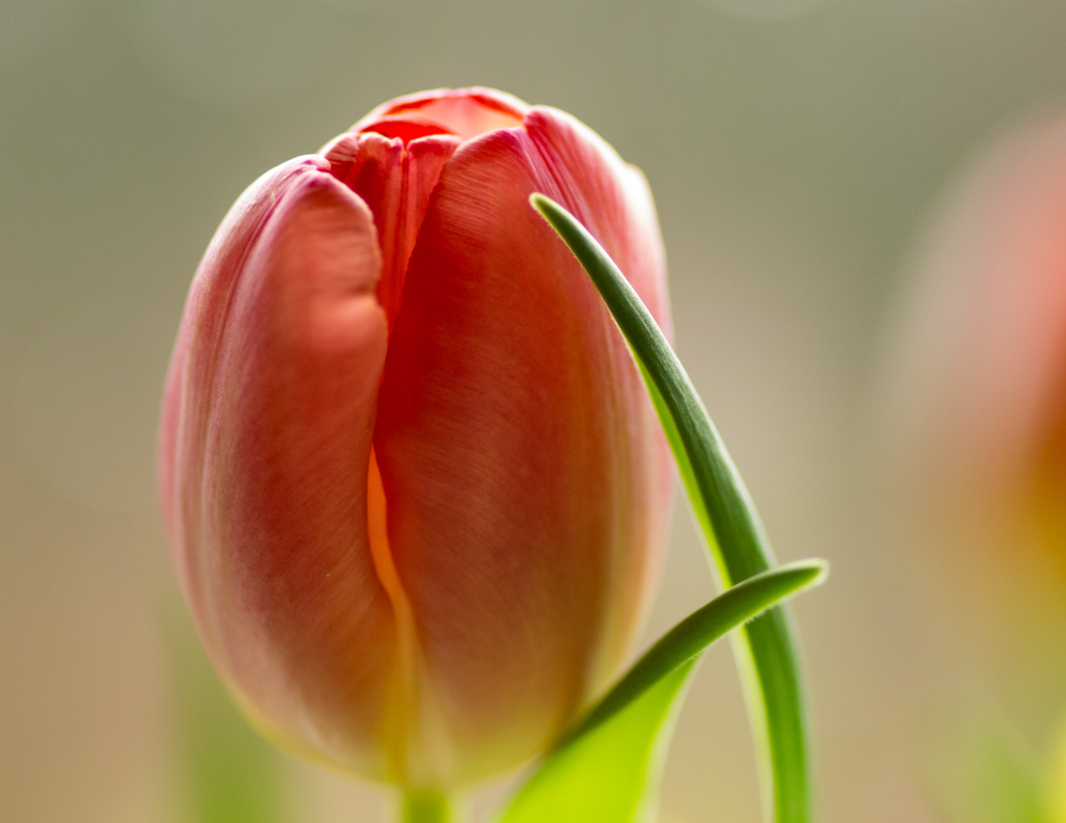 Apricot Tulip with Green