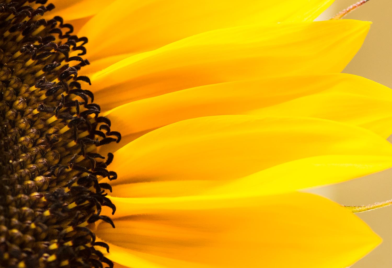 Sunflower Waves