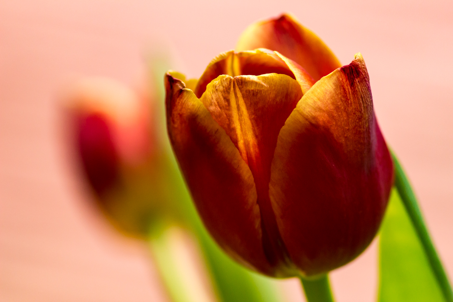 Tulip with Green Halo