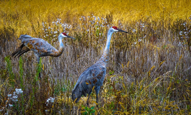 Cranes in Autumn Gold