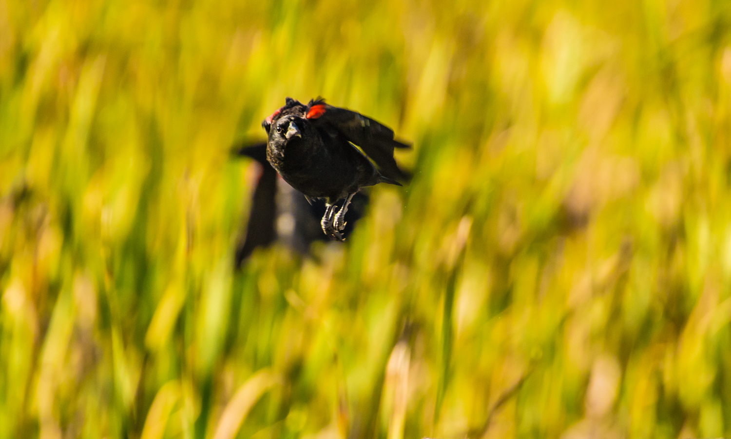 Red Winged Blackbird with Shadow Companion