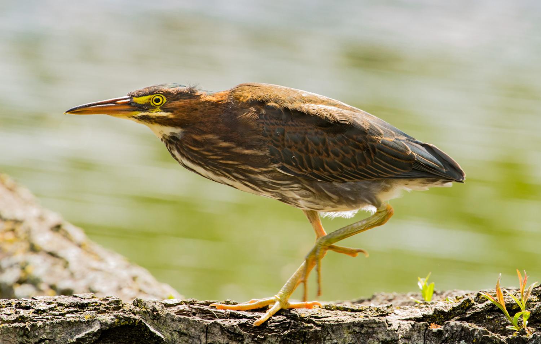 Green Heron on Log No. 2