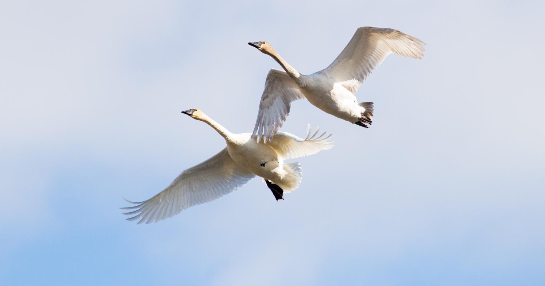 Swan Flight in Einter