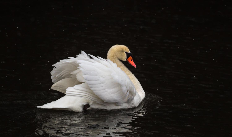 Hamsa Swan