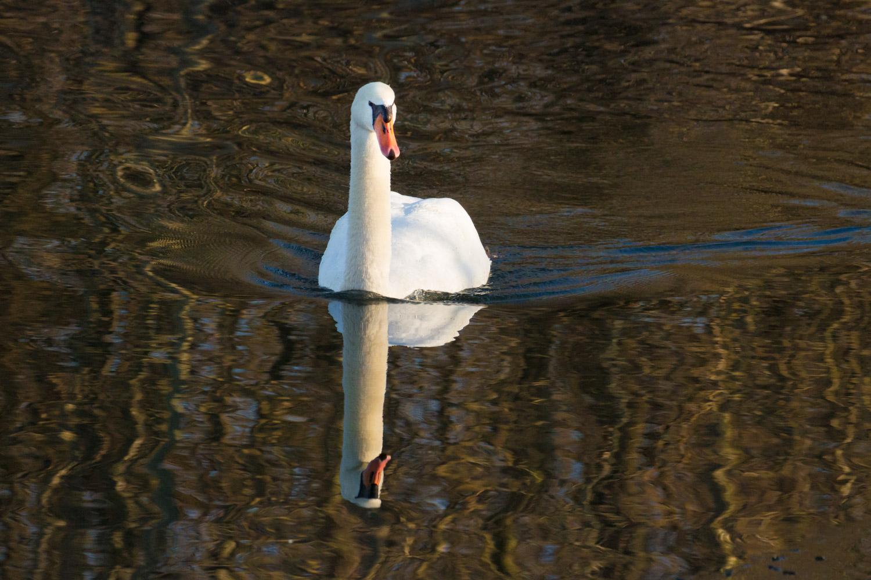 Swan in Liquid Light
