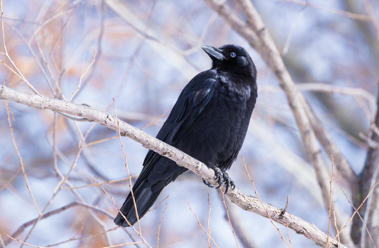 Winter Crow