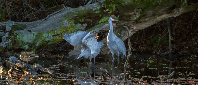 Cranes in Cove