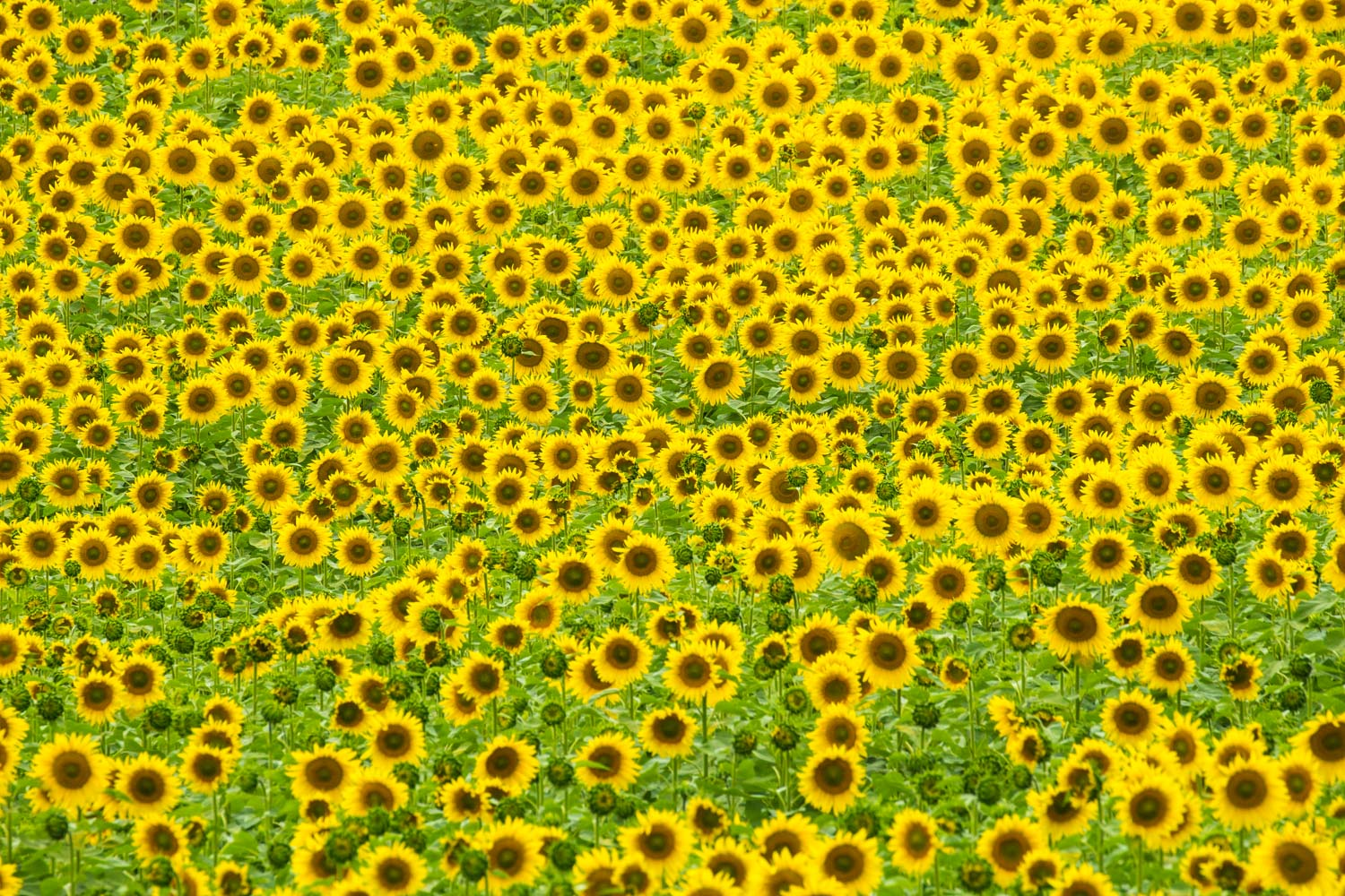 Symphony of Sunflowers