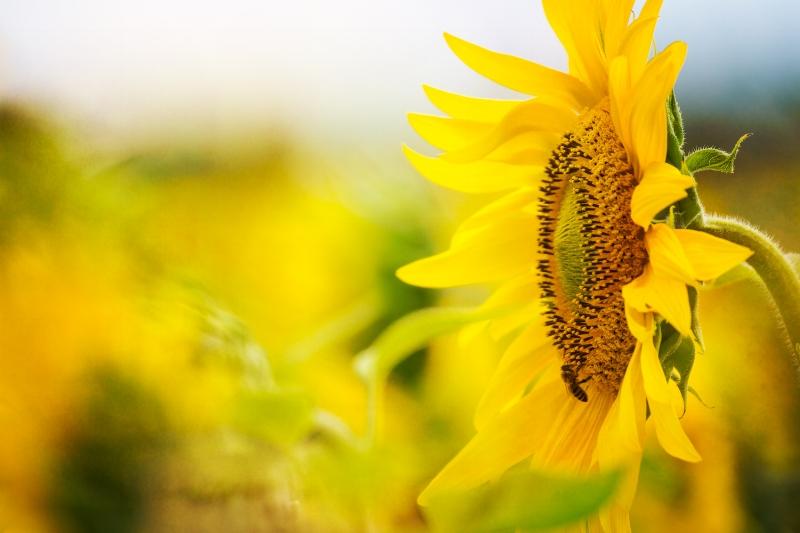 SunflowerMagic2_170806-3.jpg