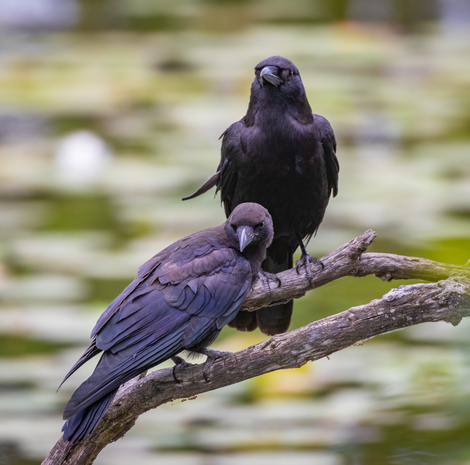 Crow Mother and Child