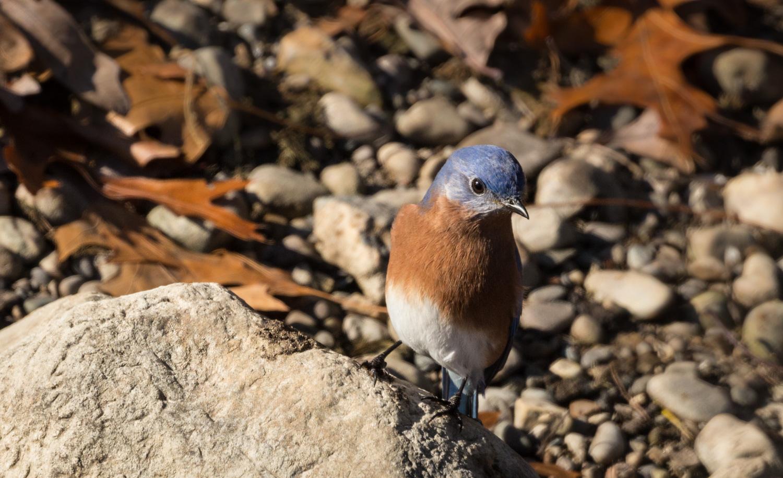 Solstice Bluebird