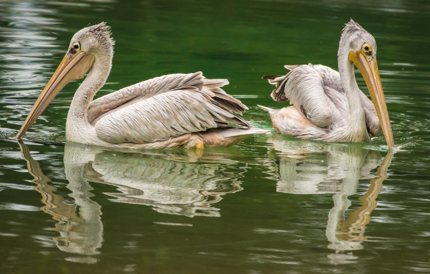 Pelican Hearts