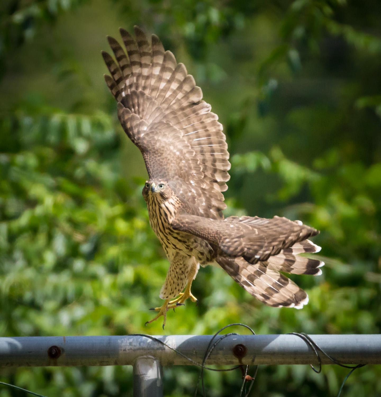 Hawk Dancer