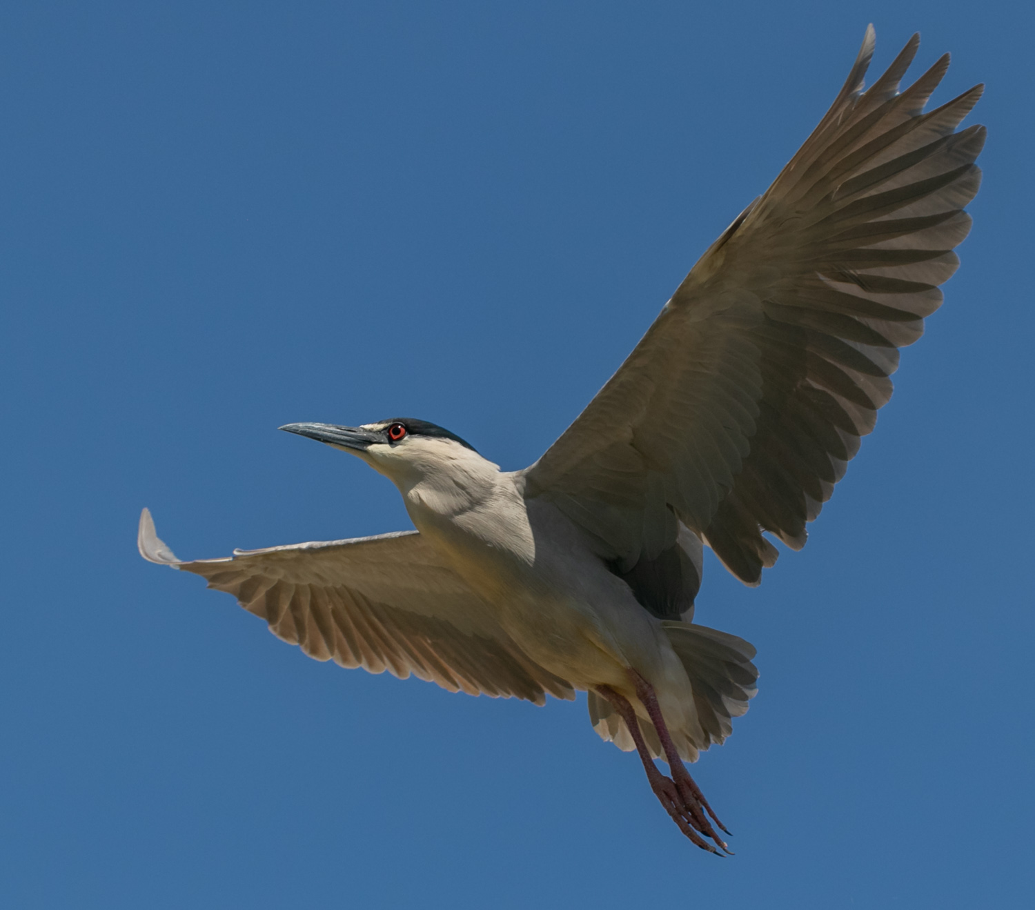 Night Heron Above