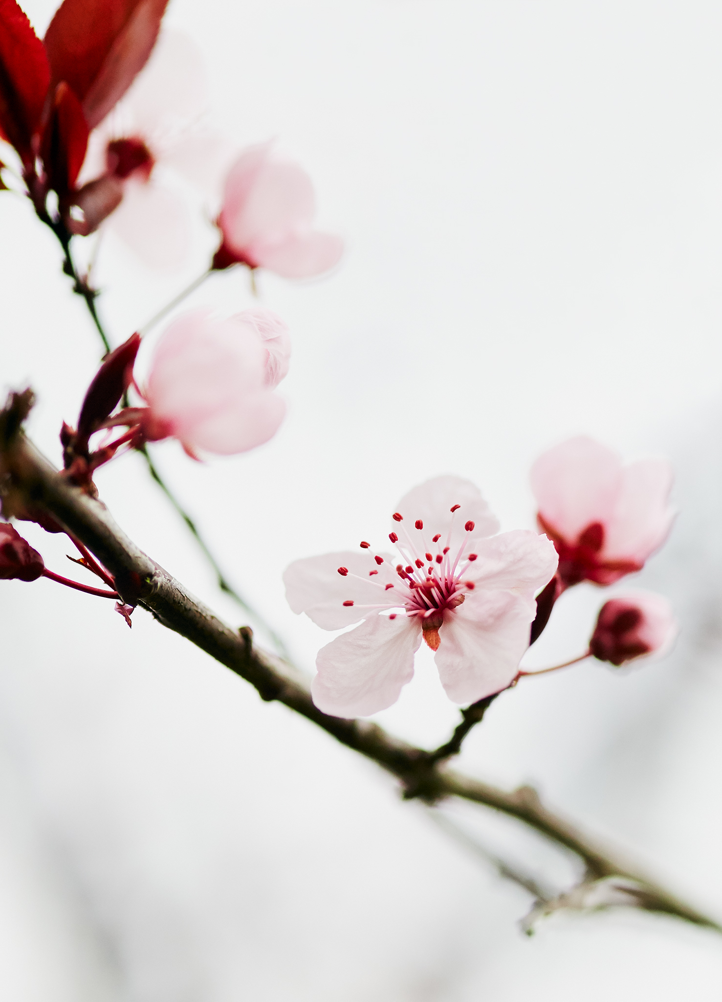 _MG_2488_Cherry_Blossom.jpg