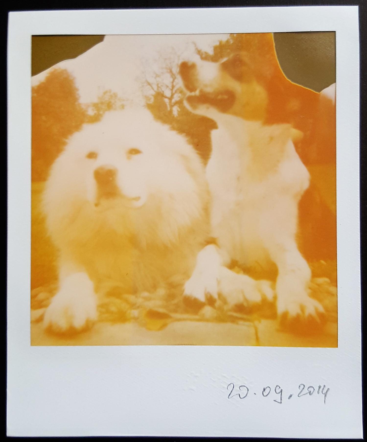 Portrait of my family's two dogs in our yard, taken using my grandmonether's Polaroid 600