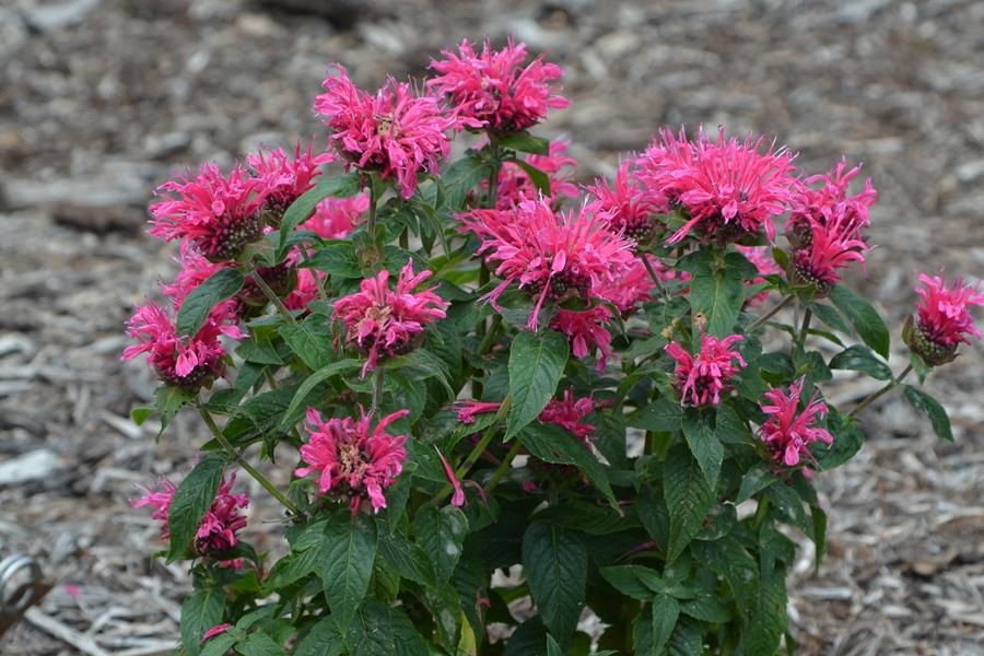 R. Cranberry Lace
