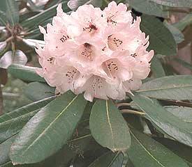 R. Fictolacteum