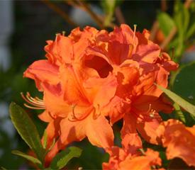 R. Orangeade