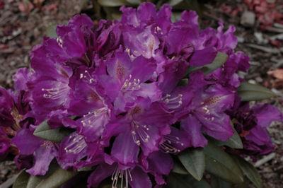 R. Purple Amethyst