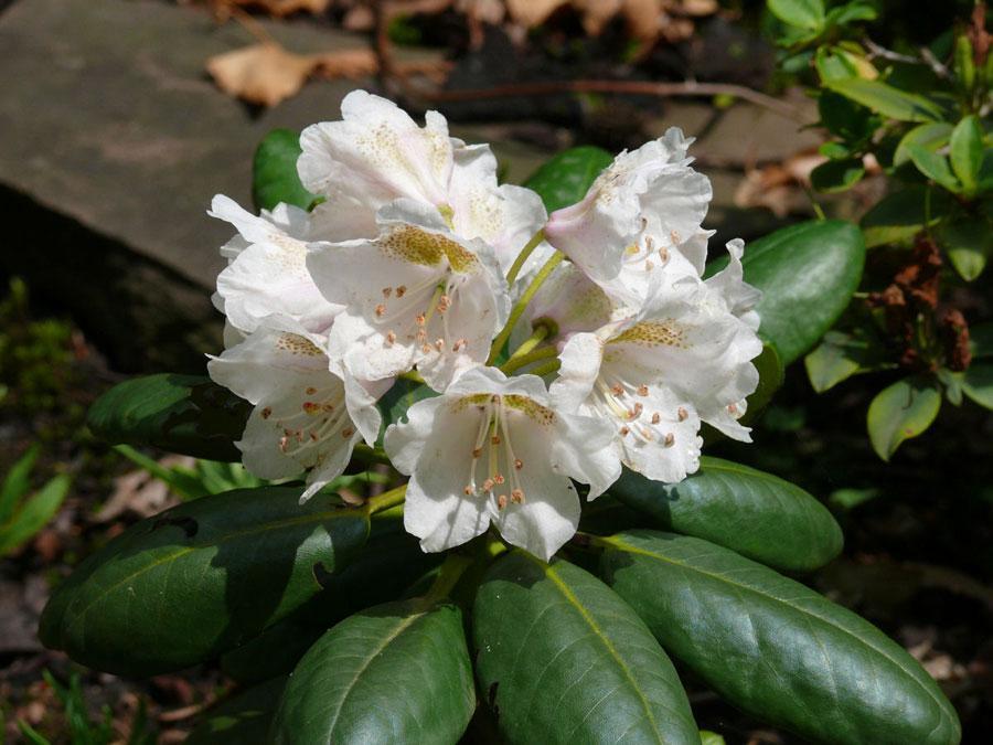 rigimum ssp.bonderii