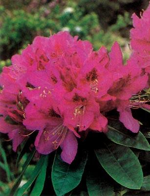 R. Whitney's Purple