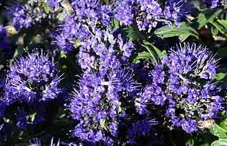 Caryopteris x clandonensis Grand Bleu TM PP# 17837