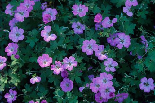 "Geranium x riversleaianum ""Mavis Simpson"""