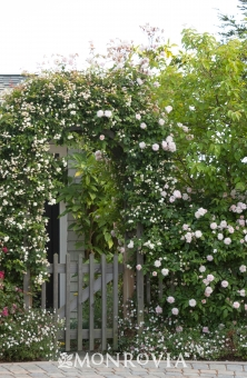 Rosa polyantha climbing cecile brunnere