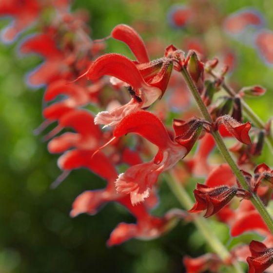 Salvia furman red