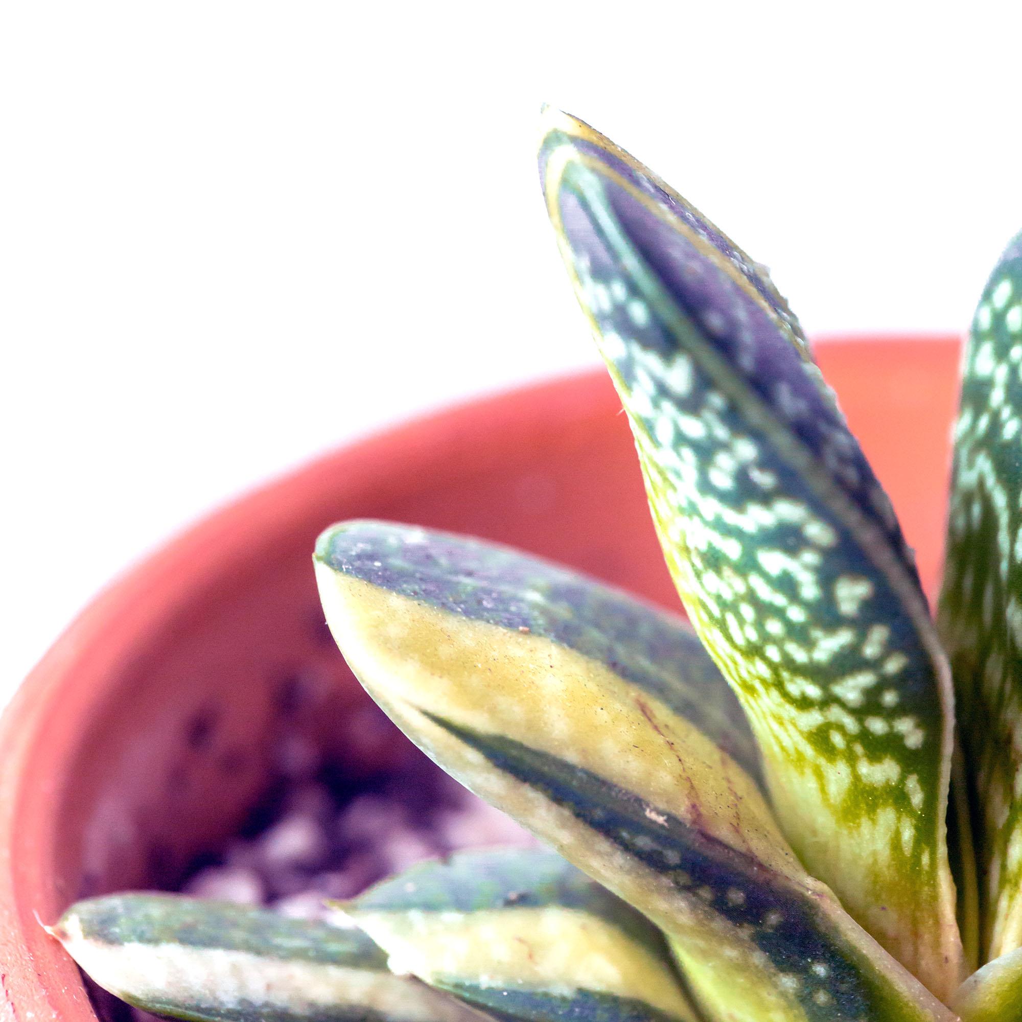 Gasteria variegata