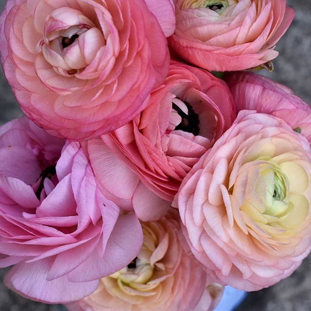Can't get enough of these ranunculus  #flowersofinstagram #flowergram #dsfloral #ranuculus #ruffles #thatsdarling #flashesofdelight #beautyineverything #thehappynow #3porchfarm #flowermagic