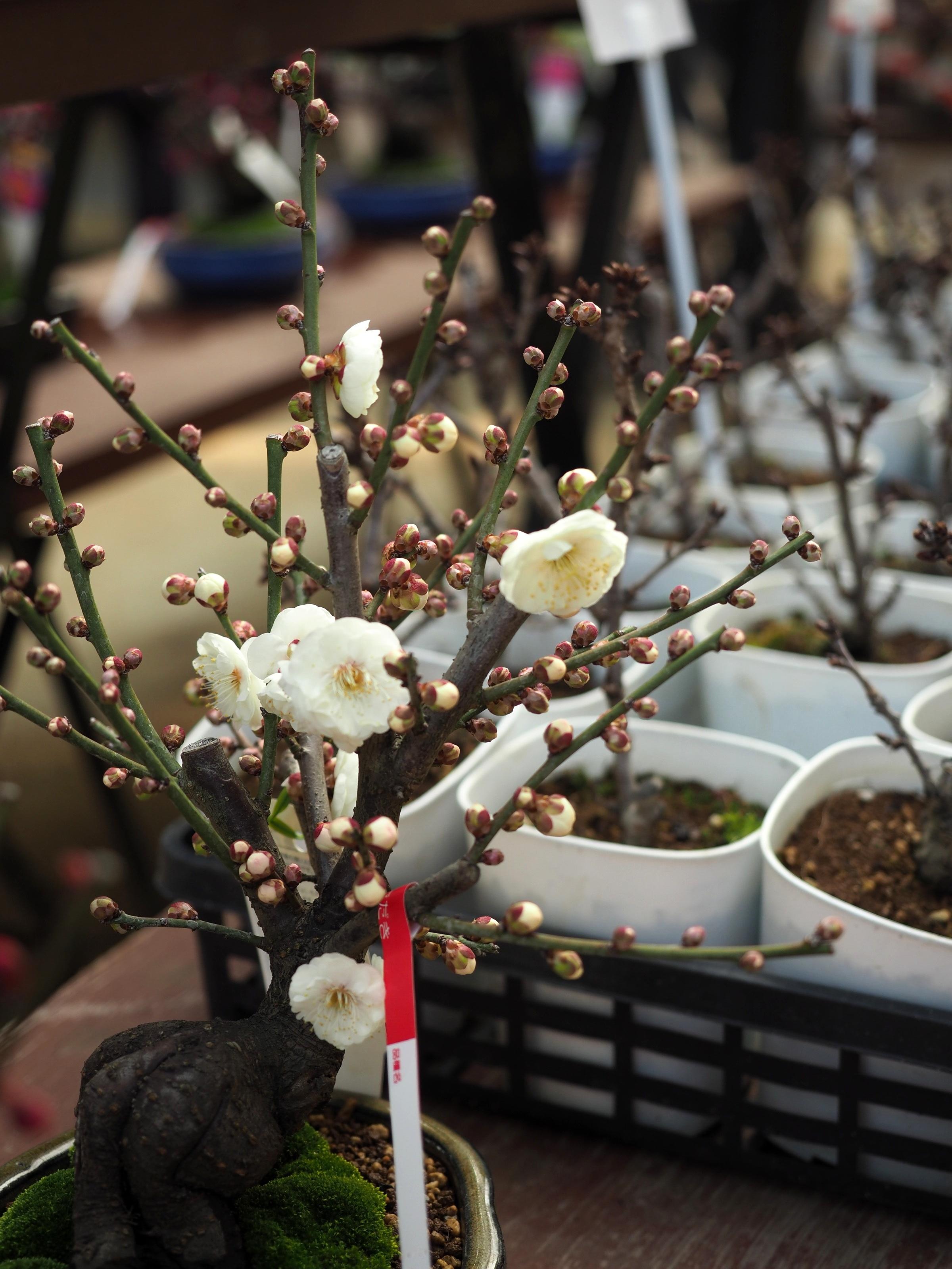 Small ume (plum) tree at Dazaifu