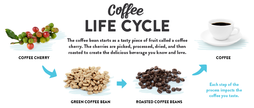 Coffee Life Cycle  The coffee bean starts as a piece of fruit called a coffee cherry. The cherries are picked, processed, dried and then roasted to create the delicious beverage you know and love. Each step of this process impacts the coffee you taste.