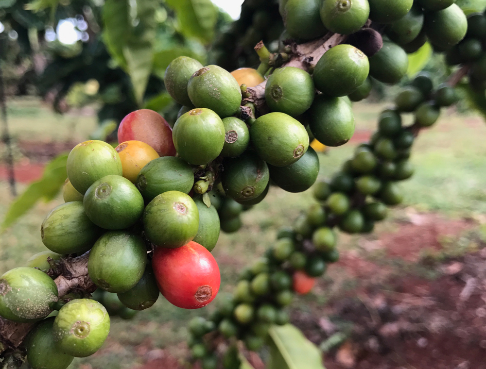 Close up of coffee bean plant