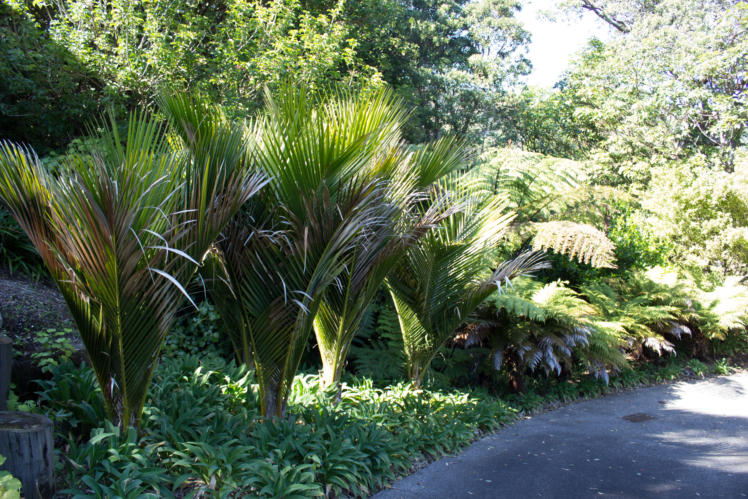 Feature Nikau Palms with complimentary soft planting