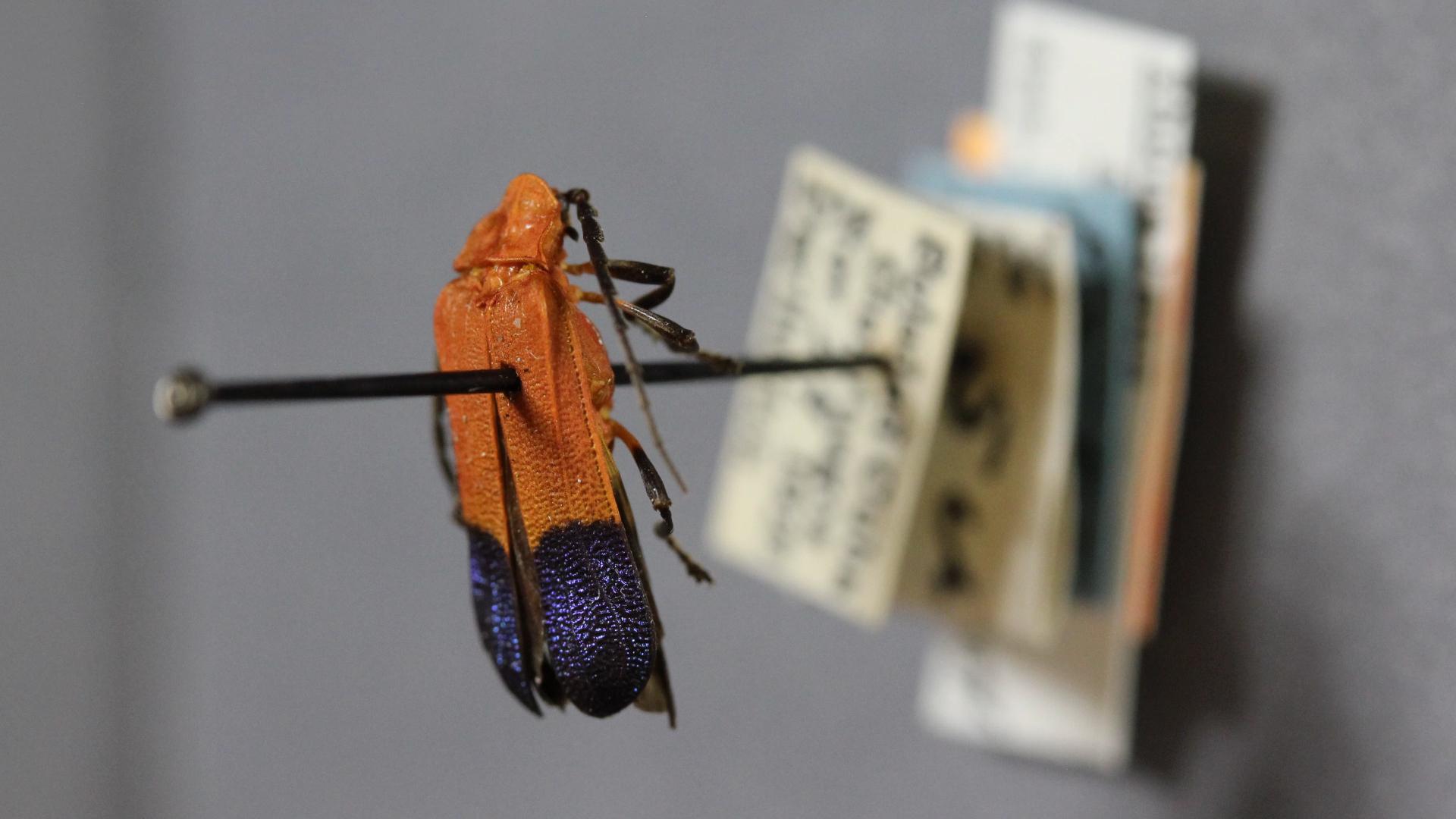 Beetle Bluffs full_beetle on pin.jpg
