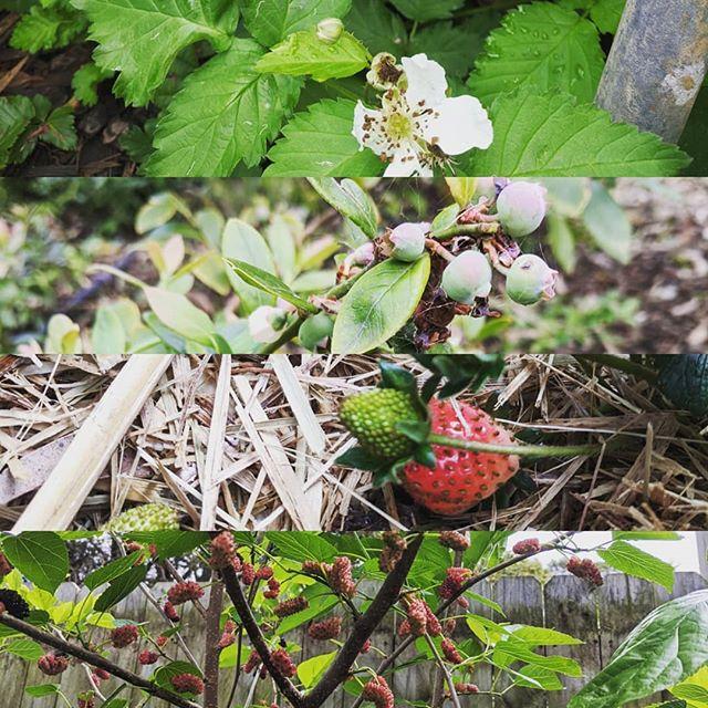 Looks we're going to have a season of raspberries, blueberries, blackberries, mulberries and strawberries.  #foodgarden #veggepatch #instagardners_feature #gardening_feature #organicgrown #kitchengarden #smallscalefarming #urbanfarming #sustainablelifestyle #growfoodnotlawns #happygardening #happyfarming #thornleigh #urbangarden #growyourownfood #eatwhatyougrow #backyardgarden #urbangardening #gardener