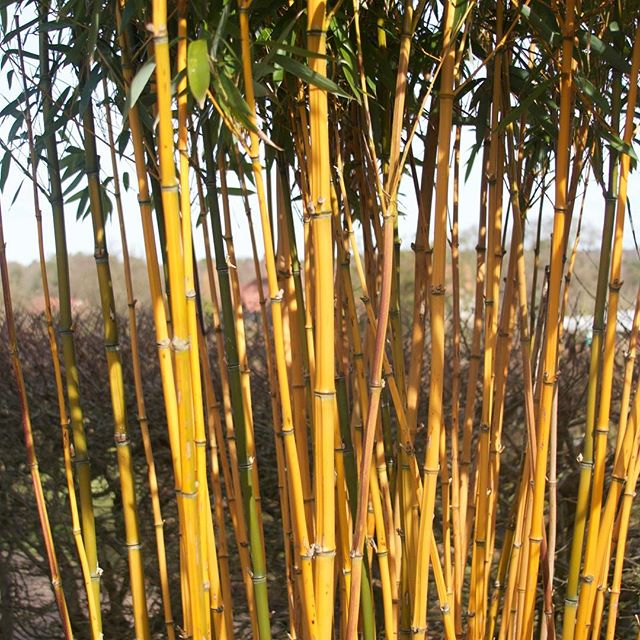 Just bamboo! A #slowlived day at RHS Wisley #capturingcolour
