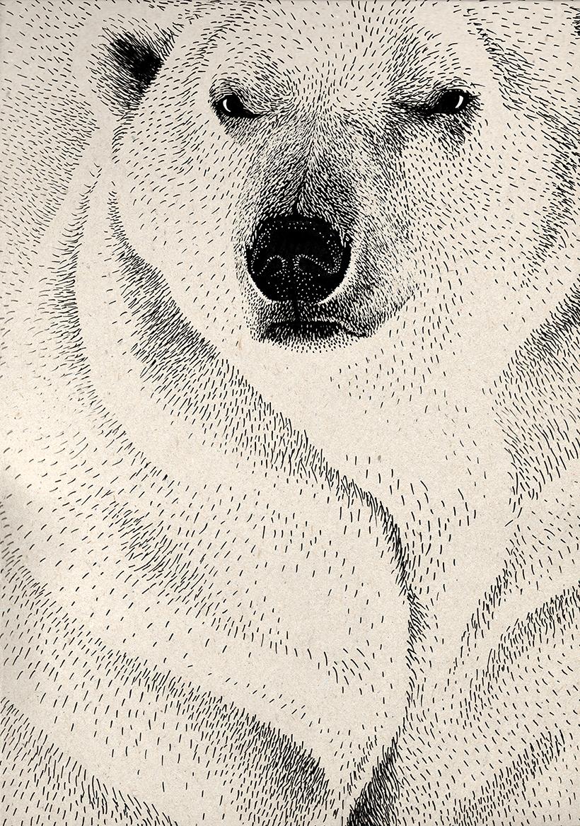 Ours polaire illustration Amandine Delaunay polar bear